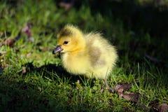 Крупный план гусят младенца есть листья и траву Стоковое фото RF