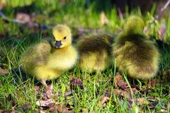 Крупный план гусят младенца с травой на своем клюве ` Стоковое Изображение