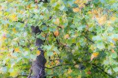 Крупный план дерева тополя в предыдущей осени при листья поворачивая yello Стоковое Фото