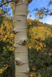 Крупный план дерева Aspen с листвой стоковое изображение rf