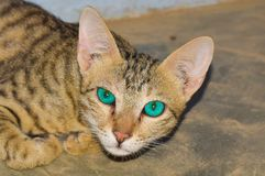 Крупный план домашней кошки дома стоковое фото rf