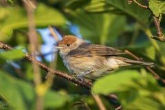 Крупный план евроазиатской птицы blackcap, atricapilla Сильвии, perchin Стоковые Фотографии RF