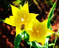 Крупный план желтого тюльпана с черепашкой Стоковая Фотография RF