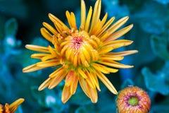 Крупный план желтого цветка Стоковое Изображение