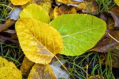 Крупный план желтой и зеленой шелковицы листьев осени Стоковое Фото