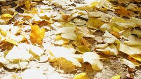 Крупный план желтой листвы на том основании сток-видео