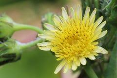 Крупный план желтых цветка, тычинки и цветня одуванчика Стоковое Изображение