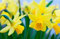 Крупный план желтых цветков narcissus Стоковое фото RF