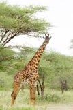 Крупный план жирафа Masai на равнинах Serengeti Стоковые Фото