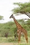 Крупный план жирафа Masai на равнинах Serengeti Стоковое Фото