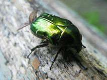 Крупный план жук-чефера Эти жуки появляются только весной стоковое фото