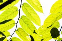 Крупный план завода дерева лист яркий стоковые фотографии rf