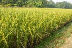 Крупный план завода луга поля риса стоковое фото rf