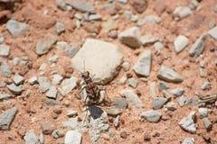 Крупный план захватнического жука тигра показывая своим длинным ногам большие глаза и сияющий Carapace Брайна стоковые фотографии rf