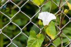 Крупный план зацветая белый взбираться sepium calystegia цветка вьюнка изгороди поле глубины отмелое Стоковое Изображение RF
