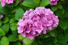 Крупный план зацветая розового цветка гортензии цветка hortensia с естественной зеленой предпосылкой Селективный фокус поле глуби Стоковые Изображения RF