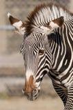 Крупный план зебры на зоопарке Brookfield Стоковые Изображения RF