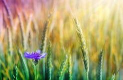 Крупный план зеленого пшеничного поля и голубого cornflower стоковые фото