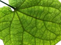 Крупный план зеленой детали лист от заднего с белым изолированным bac стоковое фото