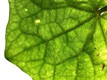 Крупный план зеленой детали лист от заднего с белым изолированным bac стоковое фото rf