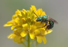 Крупный план зеленой одичалой пчелы на желтом цветке Стоковые Фото