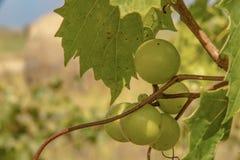 Крупный план зеленых виноградин на лозе в поздним летом с запачканной предпосылкой виноградника - комнатой для экземпляра стоковая фотография