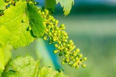 Крупный план зеленых виноградин на лозе Стоковое Изображение
