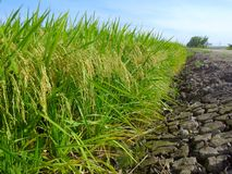 Крупный план зеленых рисовых полей на Kuala Selangor, Малайзии Часть селективного фокуса и урожая Стоковые Изображения RF