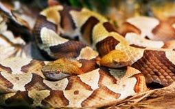 Крупный план 2 змеек copperhead стоковая фотография rf