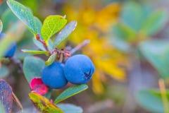Крупный план зреет ягоды голубики Стоковые Фотографии RF