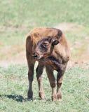 Крупный план икры буйвола Стоковое Фото