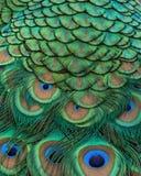 Крупный план индийских пер кабеля павлина Стоковая Фотография
