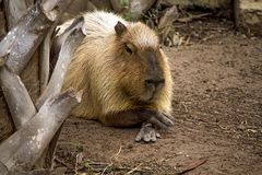 Крупный план капибары на зоопарке портера Глэдис, Браунсвилл, Техас стоковые фотографии rf