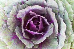 крупный план капусты свежий Стоковое фото RF
