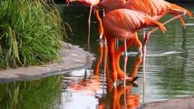 Крупный план карибских фламинго стоя в питьевой воде озера, цветистой птицы от Америки акции видеоматериалы