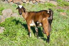 Крупный план козы brownn Стоковые Изображения