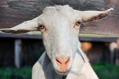 Крупный план коз намордника стоковое изображение rf