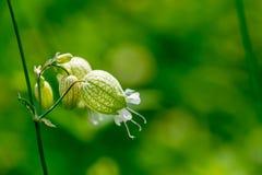 Крупный план колоколов руки полевых цветков Стоковые Фотографии RF