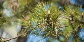 Крупный план конуса сосны pinyon на дереве с гайками сосны Стоковое Фото