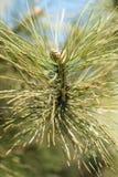 Крупный план конуса сосны pinyon на дереве с гайками сосны Стоковые Фото