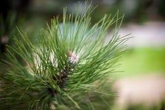 Крупный план конуса сосны pinyon на дереве с гайками сосны Стоковая Фотография