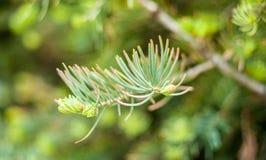Крупный план конуса сосны pinyon на дереве с гайками сосны Стоковые Фотографии RF