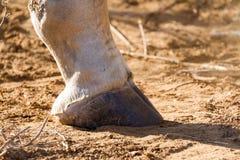 Крупный план копыта жирафа Стоковые Изображения RF