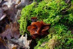 Крупный план коричневого гриба на mossbed стоковая фотография rf