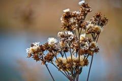Крупный план коричневых и белых thistles в часе осени золотом Стоковые Фотографии RF