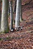 Крупный план 2 коричневых штосселей в лесе в Германии Стоковая Фотография