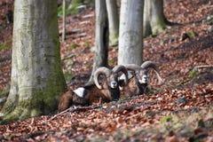 Крупный план 2 коричневых штосселей в лесе в Германии Стоковая Фотография RF