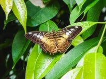 Крупный план коричневых parthenos sylvia сидя на лист стоковые изображения rf