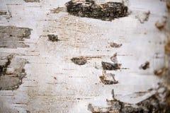 Крупный план коры дерева березы Стоковое фото RF