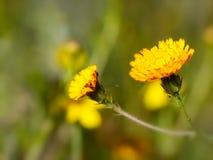 Крупный план красивого желтого цветка Стоковая Фотография